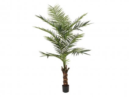 Kentia palma, výška 240cm