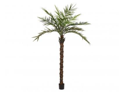Kentia  palma deluxe, 300cm