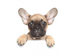 Deka mikroflanel s digitálním tiskem Puppy Bulldog 120/150