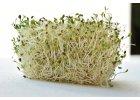 Alfalfa (tolice vojtěška) BIO (semínka na klíčení)