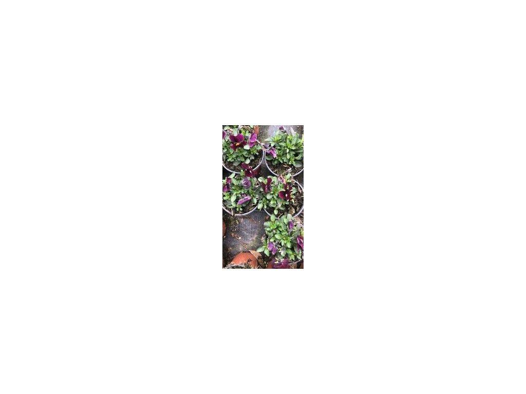 maceška fialová malok