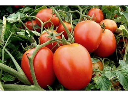 rajče galera