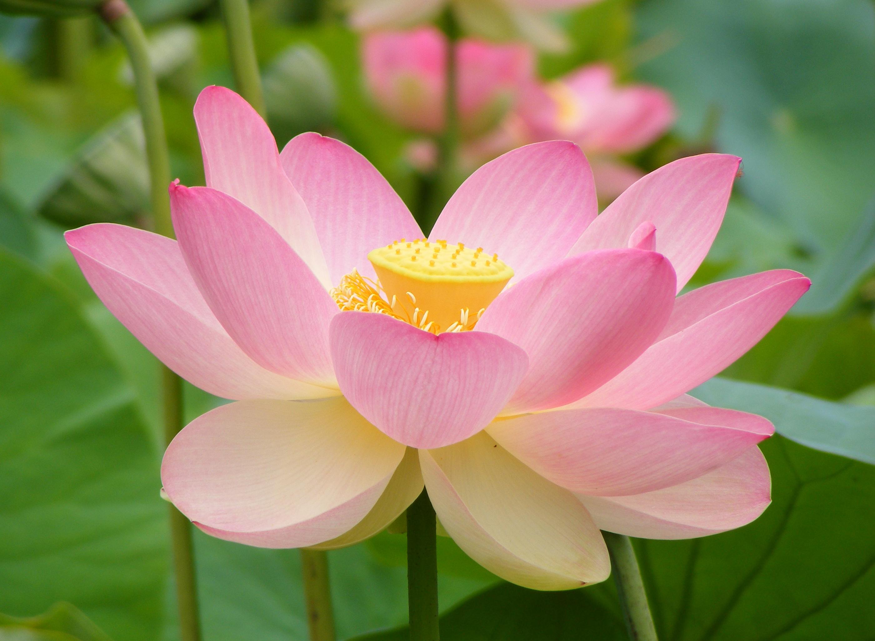 Efekt lotosového kvetu