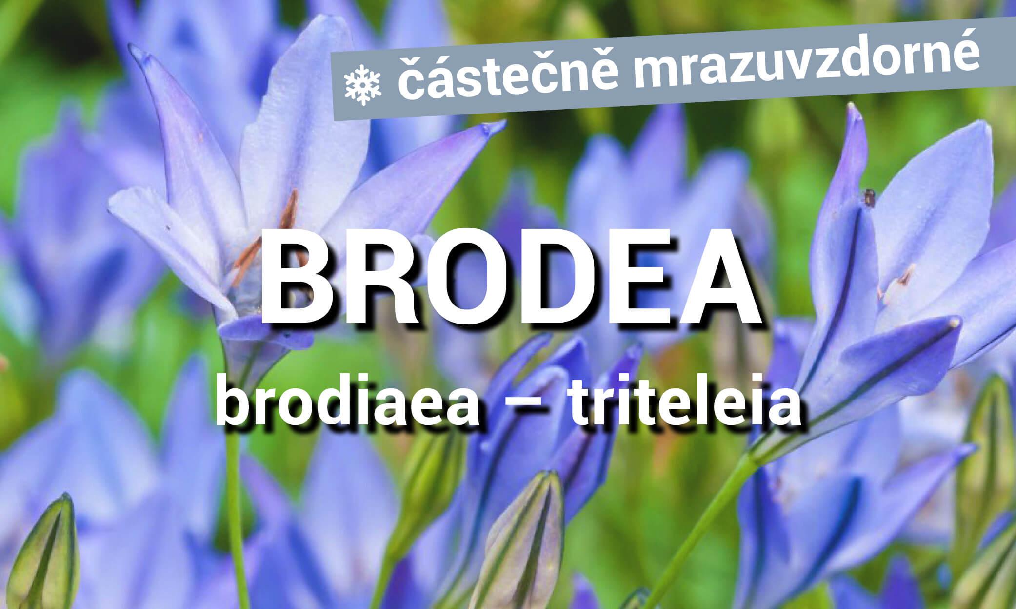 Brodea
