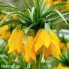 Repcik Fritillaria Lutea 1