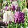 Repcik Fritillaria Meleagris Mix 1