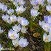 Krokus Blue Pearl chrysanthus 3