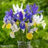 Iris mix hollandica 4