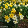Narcis Mix large flowing 3