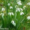 Sněženka - Galanthus Elwesii