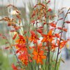 Crocosmie Babylon 05