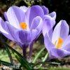 Krokus Grand maitre large flowering 5