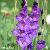 Gladiol Blue Isle 01