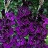 Gladiol Purple Flora 03