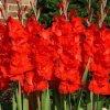 Gladiol Red 02