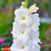 Gladiol White Prosperity 02