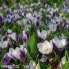 Krokus Prins claus chrysanthus 2