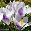 Krokus Prins claus chrysanthus 3