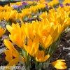Krokus Yellow large flowering 2