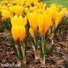Krokus Yellow large flowering 5