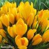 Krokus Yellow large flowering 1