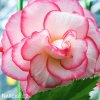 Begonie Boutone de Rose 03