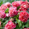 Begonie Camelia Pink 01