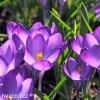 Krokus Barr's purple tommasianus 5