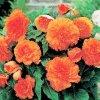 Begonie Třepenitá oranžová 03