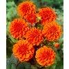 Jiřina Orange Nugget 03