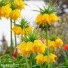 Repcik Fritillaria Lutea 5