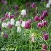 Repcik Fritillaria Meleagris Mix 2