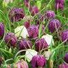 Repcik Fritillaria Meleagris Mix 3