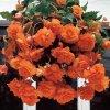 Begonie Pendula Orange 03