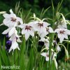 Acidanthera 02