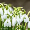 Sněženka Galanthus Woronowii 5