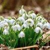 Sněženka Galanthus Flore Pleno 3
