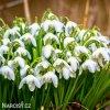 Sněženka Galanthus Flore Pleno 1