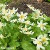 Erythronium white 05