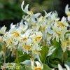 Erythronium white 01