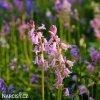 Ladonka hispanica pink 3