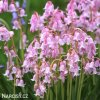 Ladonka hispanica pink 1