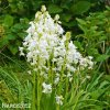 Ladonka hispanica white 3
