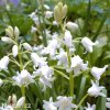 Ladonka hispanica white 1