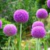 Česnek Allium Giganteum 5