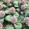 Allium Karatieviense2