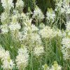 Camassia leichtlinii alba 5