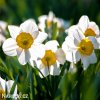 Narcis Flower Record 3
