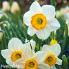 Narcis Flower Record 1