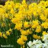 Narcis Quail 3